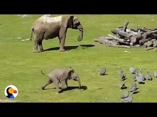 Baby Elephant Chasing Birds FAIL | The Dodo
