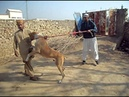My bully kutta in pakistan 2