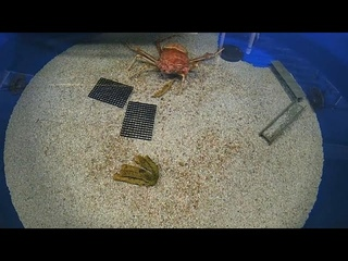 Как линяет гигантский краб. В океанариуме Сан-Диего шесть часов наблюдали за японским крабом-пауком…