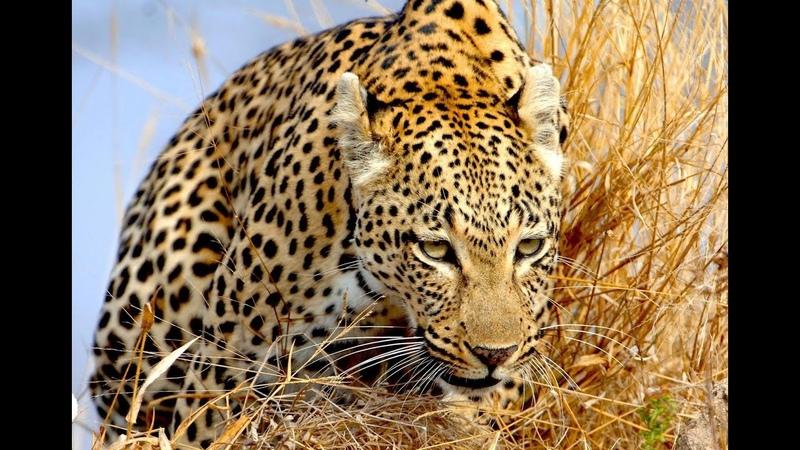 Leopardo Vence 4 leoas incrível, reino animal, vida selvagem, Leopardo Vs leoas