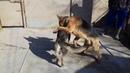 16Как происходит вязка собаки