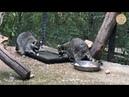 Еноты кушают блины. Тайган | Raccoons eat pancakes. Taigan