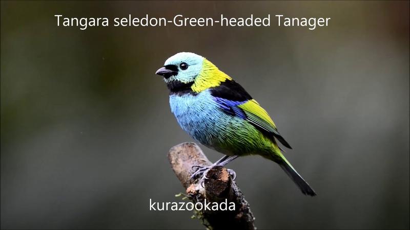 Green-headed tanager Зеленоголовая танагра Tangara seledon