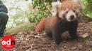 Adorable baby red panda triplets make public debut