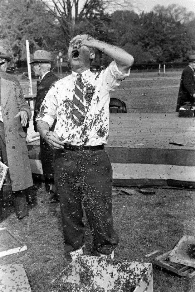 Демонстрация породы пчёл без жала. США, 1939 год