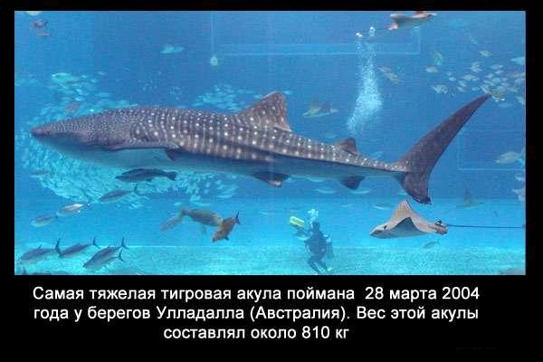 Valteya - Интересные факты о акулах / Хищники морей.(Видео. Фото) - Страница 2 XIdeIYPWweM