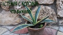 Что стало с растениями привезёнными зимой с острова Корсика?