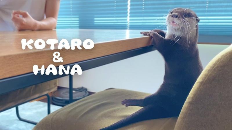カワウソコタローとハナ ぺたんこ座りがカワイイ日曜の朝 Otter Kotaro Hana Sunday Mor