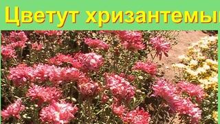 Цветут хризантемы в ботаническом саду