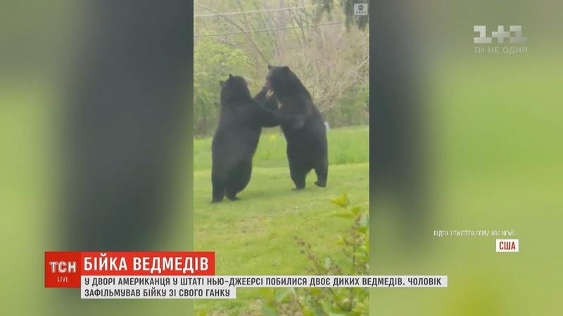 Двоє диких ведмедів влаштували бійку в дворі американця