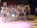 Верблюды и лошади из цирка братьев Гертнер готовятся к выступлениям