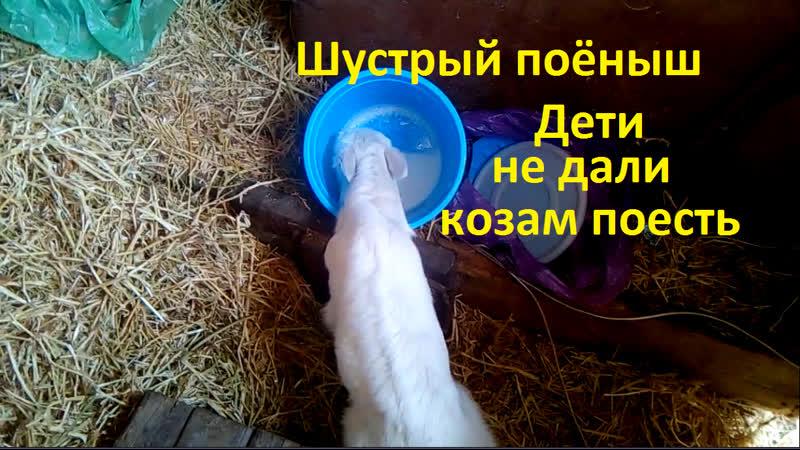 Шустрый поёныш Дети не дали козам поесть