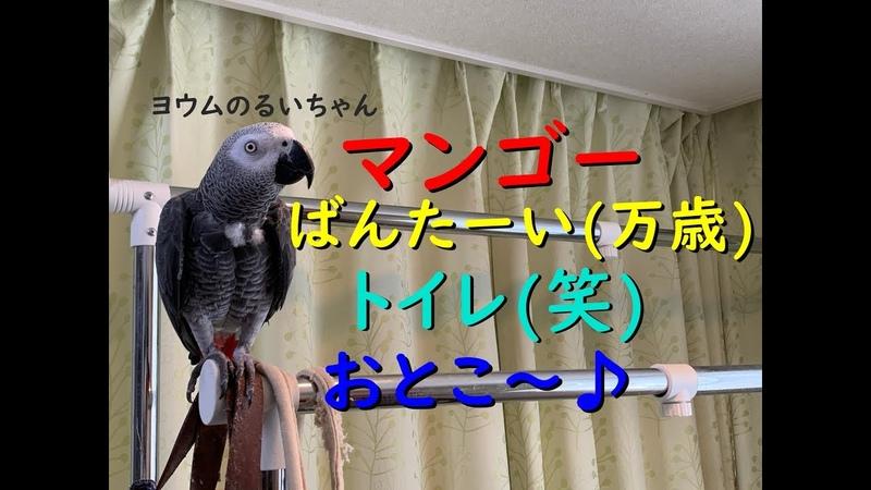 マンゴー&ばんたーい(万歳)&トイレ&おとこ~♪ ヨウムのるいちゃん