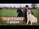 Подготовка к родам собаки