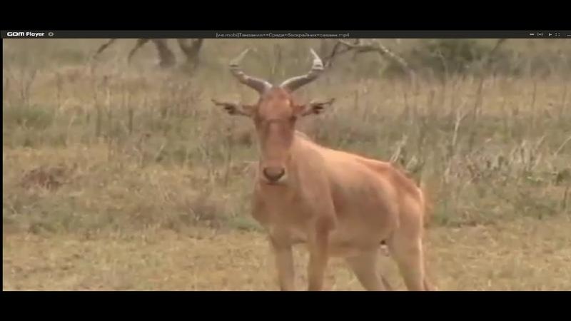 Танзания Среди бескрайних саванн Дикая природа Африки National Geographic BBC