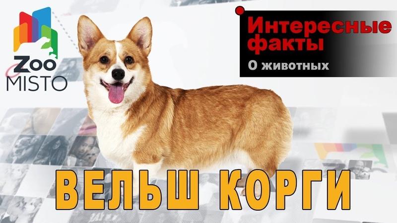 Вельш корги Интересные факты о породе собаки Порода собаки вельш корги
