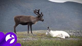На территории Арктики пересчитают диких оленей