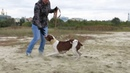 American Pit Bull Terrier АПБТ Милк Баунти (Пчёлка).