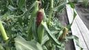 Поспели первые початки кукурузы сорта ЦАРЕВИЦА и ТРОЙНАЯ СЛАДОСТЬ