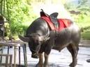272 Вьетнам ДАЛАТ НАЦИОНАЛЬНЫЙ ПАРК ПРЕНН БУЙВОЛЫ СЛОНЫ СТРАУСЫ ДЖИПЫ DaLat Prenn National Park BUL