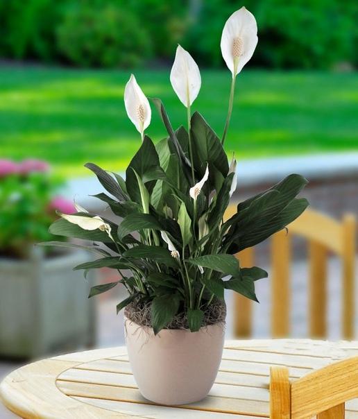 Спатифиллюм Если когда пересаживали Спатифиллюм Вы заглубляли растения по-разному, он будет у Вас развиваться по-разному. У тех, что не дали боковых побегов, точка роста оказалась выше уровня