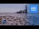 MASS DEATH OF SHORT NECKED CLAMS KBS뉴스 News