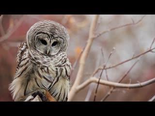 Female barred owl