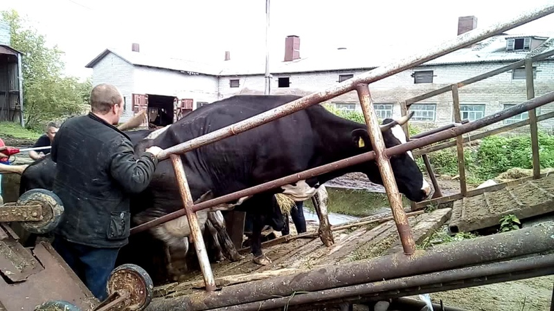 Коров с фермы в Луговом увозят на убой