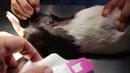 Кастрация самца морской свинки How a male guinea pig is neutered
