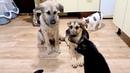 Реакция кошек на новых щенят в приюте Зэна и Бэлла ждут человека чтобы стать домашними собаками