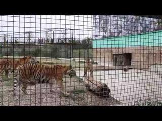 Приветик и поцелуй тигрикам! Тайган. Белогорск. Крым.