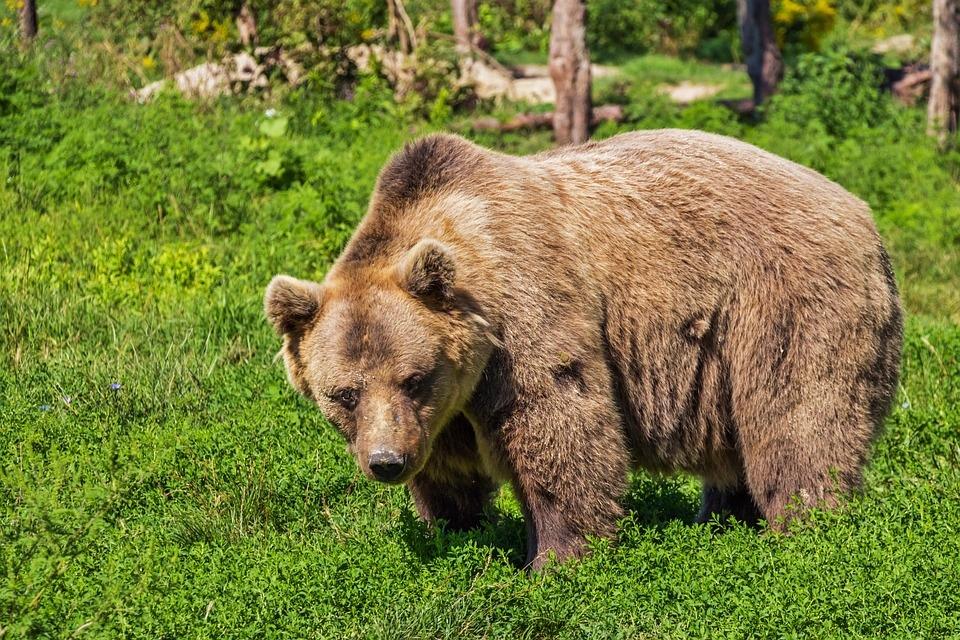 Медведь напал на человека в Марий Эл