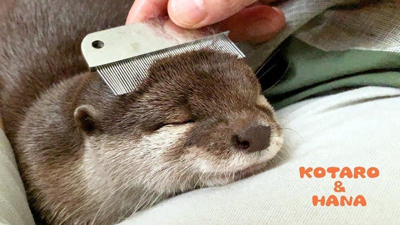 カワウソコタローとハナ 父ちゃんのブラッシングでとろける Otter KotaroHana So Comfy