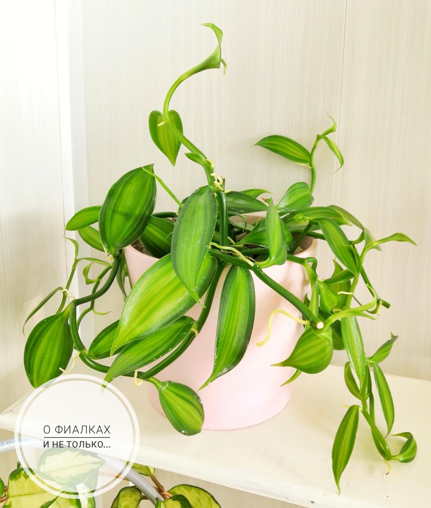 Орхидеи - Страница 25 TrSPSXCw7hU