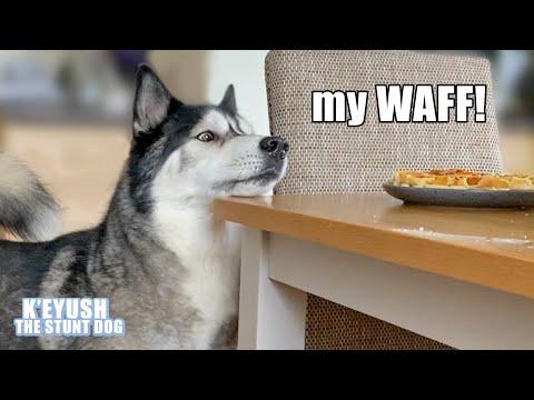 Husky Wont Stop TALKING Until He Gets His Waffles! Demanding Dog!