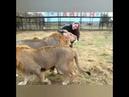 Два моих любимца льва!
