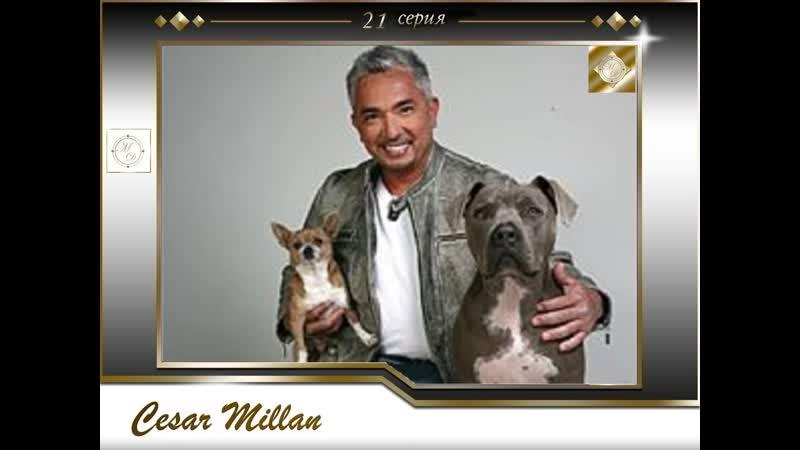 21 серия Сезар Миллан Переводчик с собачьего Brandy Bandit Houtti