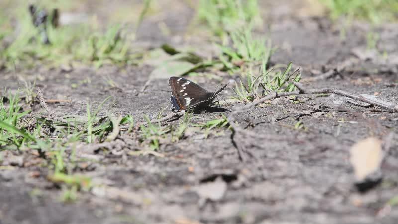 Тополевый ленточник или бабочка на земле