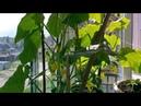 Выращивание огурцов на окне часть 1