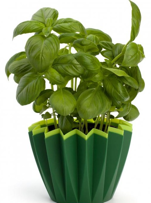 Многие люди используют свежий базилик для очистки и питания кожи.
