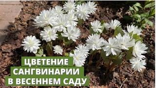 Весенние цветы. Цветение сангвинарии махровой