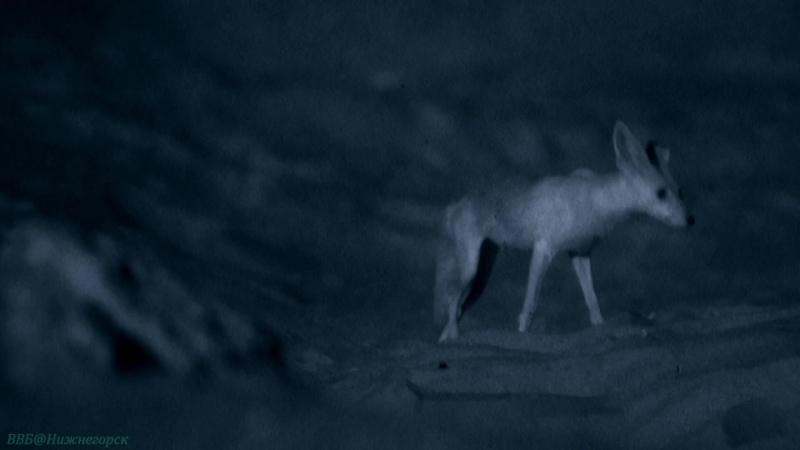 BBC Дикая Аравия 2 Жемчужина Аравии Познавательный природа путешествие 2013