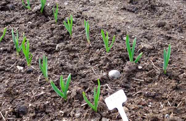 Советы бывалых огородников о том, что делать, чтобы Ваш чеснок вырос крупным, изображение №4