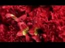 Букет из 15 красных гвоздик и 10 красных альстромерий