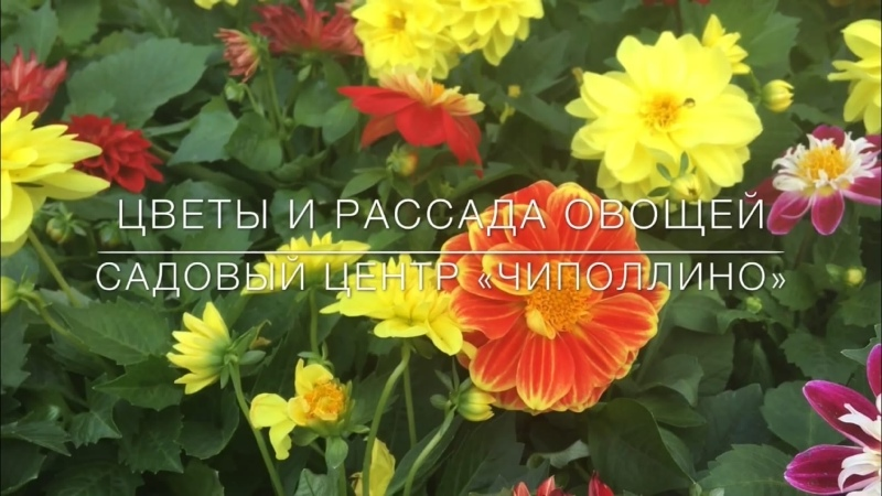 Цветы и рассада овощей. Садовый центр «Чиполлино»