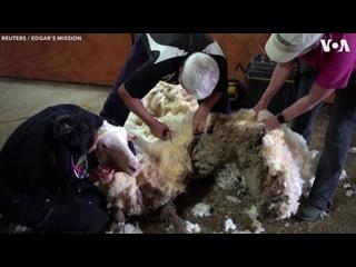 🔥 Больная и дикая овца, много лет не стриженная, была спасена миссией в Австралии и принесла кучу шерсти весом более 35 килограм