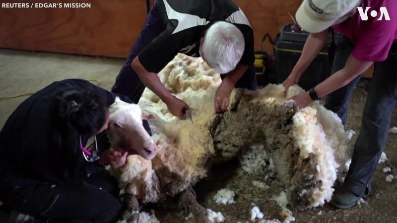 🔥 Больная и дикая овца много лет не стриженная была спасена миссией в Австралии и принесла кучу шерсти весом более 35 килограм