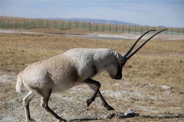 «Детский сад» для тибетских антилоп на северо-западе Китая