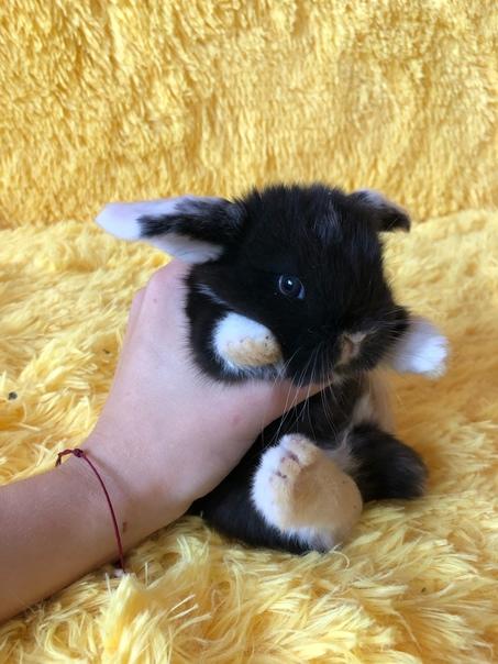 Продам декоративных карликовых крольчат. Порода: к...
