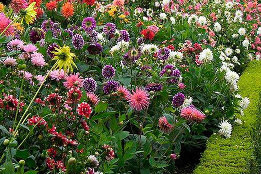 однолетние цветы для сада, георгины из семян